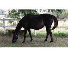 BLACK TB MARE and BLACK and WHITE FILLY
