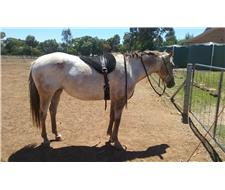 AAA Registered Appy Mare