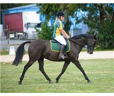 Awesome Allrounder - 14.3hh Gelding
