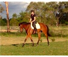 Gorgeous Quiet 17hh Gelding