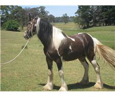 Gypsy Cob x Clydesdale Gelding