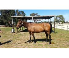 Beautiful Natured TB Gelding