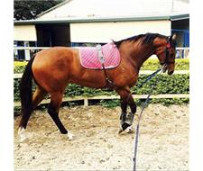 Stunning bay TB mare - show or breed