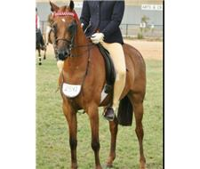 Gorgeous riding pony - 'Rabbit'