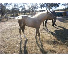 Filly, show quality, pt.Arabian