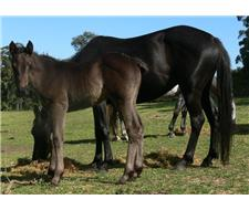 Show Black Foal Filly Stock Horse