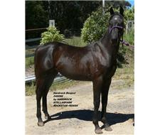 High Show Quality Yearling Gelding