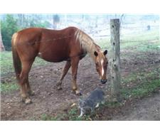 Taffy Chestnut Mare