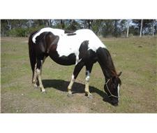 BLACK and WHITE PAINT MARE - FOR SALE
