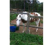 Paint Horse Mare for Sale
