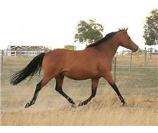 Gorgeous RP x WB Bay Mare
