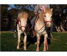 Perfect Pair Welsh Geldings
