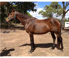 Registered W/blood Broodmare