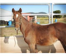 Chestnut 7-8 month old gelding
