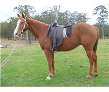 Tex - Registered ASH Gelding
