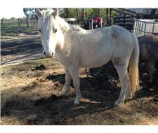 Palomino Pure welsh A filly