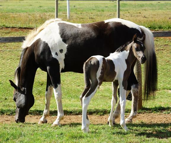 Homozygous tobiano mare in foal | Top Horse