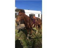 QH/TB gelding for sale