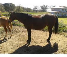 Beautiful Mare, in foal to Paint