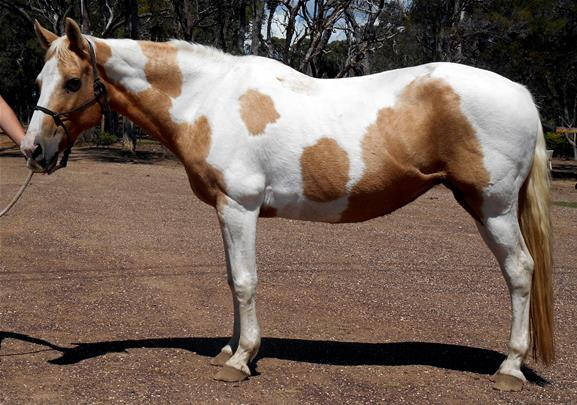 Beautiful Palomino Paint Mare Video Top Horse