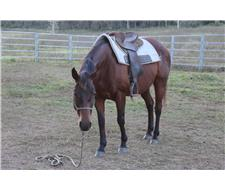 Working bred QH mare