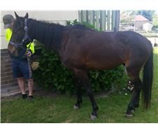 Beautiful Natured ASH Gelding 6yr Old