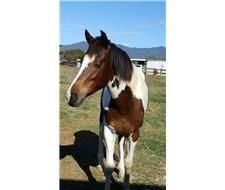 Tobiano Paint Horse Registered Gelding