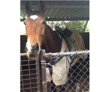 5yo Thoroughbred Gelding by Face Value
