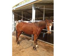 Sweet Candy Draught cross stock horse