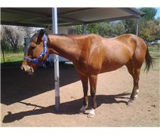 TB Bay Mare Dressage Trained