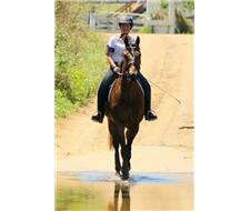 Lovely 6yo thoroughbred gelding