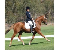 Performance potential Tb gelding
