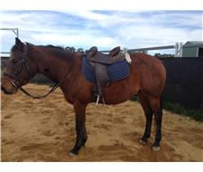 Nobby-7 year old gelding