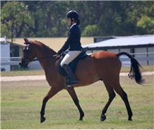 Arabian Gelding, pony club mount