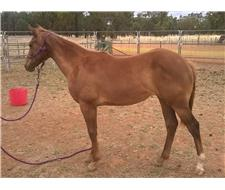 Beautiful Solid Appy/Stockhorse filly