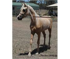 Palomino Reg. A Riding pony colt