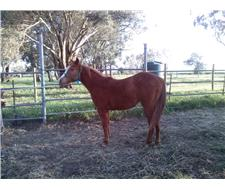 solid paint yearling colt