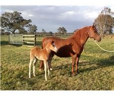 Quarab mare and foal