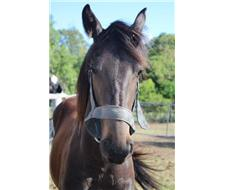 3/4 Friesian Warmblood Filly