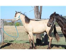 Buckskin Friesian Warmblood