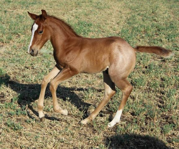 Performance Quarter Horse Weanling