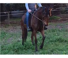 Benny- Gelding stock horse x for sale