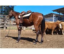 2yo ASH/QH filly, Broken and Going