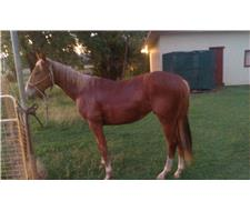 3yr gelding ready to work