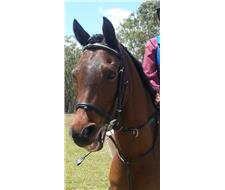 Great Allrounder Gelding