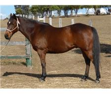 QH Brown Gelding