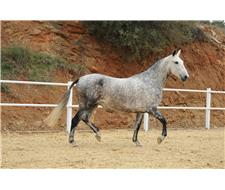 Andalusian / P.R.E Mares for sale