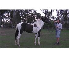B and W REG TOBIANO COLT/STALLION