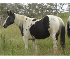 B and W DOUBLE HOMOZYGOUS TOBIANO MARE