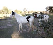 B and W DOUBLE HOMOZYGOUS TOBIANO FILLY